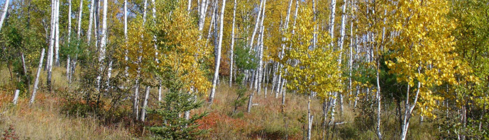Why are the birch dying?